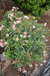 Sofia Oleander (Nerium 'Sofia') at Roger's Gardens