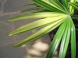 Variegated Lady Palm (Rhapis excelsa 'Variegata') at Roger's Gardens