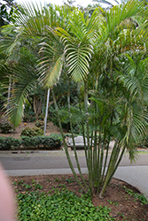 Areca Palm (Dypsis lutescens) at Roger's Gardens