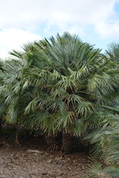 Atlas Mountain Palm (chamaerops humilis var. argentea) at Roger's Gardens