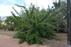 Pummelo (Citrus maxima) at Roger's Gardens