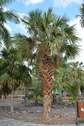 Cabbage Palm (Sabal palmetto) at Roger's Gardens