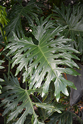 Tree Philodendron (Philodendron selloum) at Roger's Gardens