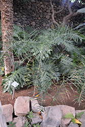 Baby Queen Palm (Chamaedorea plumosa) at Roger's Gardens
