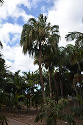 Ribbon Fan Palm (Livistona decora) at Roger's Gardens