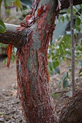 Peregrina (Jatropha integerrima) at Roger's Gardens