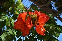 African Tulip Tree (Spathodea campanulata) at Roger's Gardens