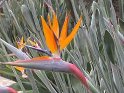 Narrow-leafed Bird Of Paradise (Strelitzia juncea) at Roger's Gardens