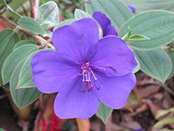 Princess Flower (Tibouchina urvilleana) at Roger's Gardens