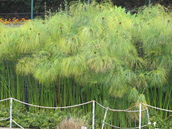 Papyrus (Cyperus papyrus) at Roger's Gardens