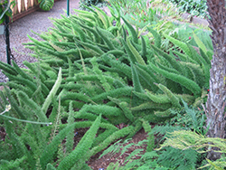 Myers Foxtail Fern (Asparagus densiflorus 'Myers') at Roger's Gardens