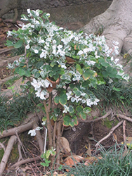 Snow Bush (Breynia disticha) at Roger's Gardens