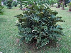 Cardboard Palm (Zamia furfuracea) at Roger's Gardens
