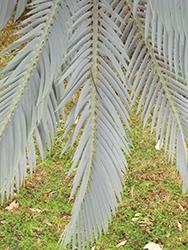 Karoo Cycad (Encephalartos lehmannii) at Roger's Gardens