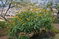 Popcorn Cassia (Senna didymobotrya) at Roger's Gardens