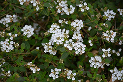 Spreading White Lantana (Lantana montevidensis 'Spreading White') at Roger's Gardens