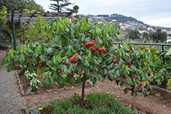Strawberry Snowball Tree (Dombeya cacuminum) at Roger's Gardens