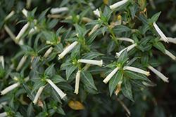 Cigarrinhos Firecracker Plant (Cuphea ignea 'Cigarrinhos') at Roger's Gardens