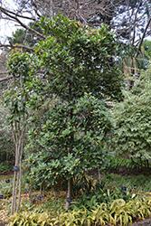 Variegated New Zealand Laurel (Corynocarpus laevigatus 'Variegata') at Roger's Gardens