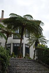 Australian Tree Fern (Cyathea cooperi) at Roger's Gardens