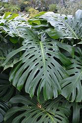 Monstera Deliciosa Plant (Monstera deliciosa) at Roger's Gardens