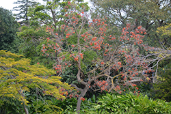 Naked Coral Tree (Erythrina coralloides) at Roger's Gardens