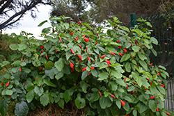Giant Red Turk's Cap (Malvaviscus arboreus var. penduliflorus) at Roger's Gardens