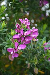 Sweet Pea Bush (Polygala myrtifolia) at Roger's Gardens