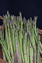 Millennium Asparagus (Asparagus 'Millennium') at Roger's Gardens