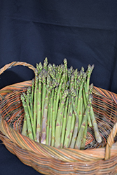 Jersey Knight Asparagus (Asparagus 'Jersey Knight') at Roger's Gardens