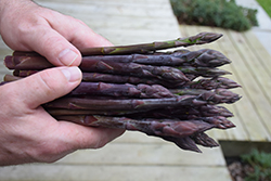 Pacific Purple Asparagus (Asparagus 'Pacific Purple') at Roger's Gardens
