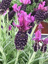 Anouk Spanish Lavender (Lavandula stoechas 'Anouk') at Roger's Gardens