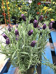 Spanish Lavender (Lavandula stoechas) at Roger's Gardens