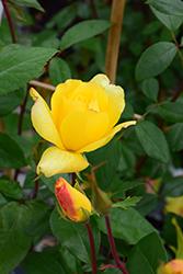 Golden Showers Rose (Rosa 'Golden Showers') at Roger's Gardens