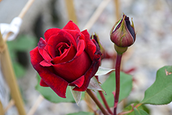 Don Juan Rose (Rosa 'Don Juan') at Roger's Gardens