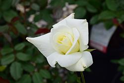 John F. Kennedy Rose (Rosa 'JFK') at Roger's Gardens