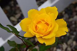 Henry Fonda Rose (Rosa 'Henry Fonda') at Roger's Gardens