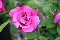 Heirloom Rose (Rosa 'Heirloom') at Roger's Gardens