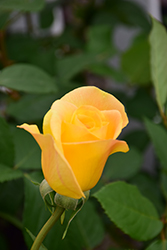 Gold Medal Rose (Rosa 'Gold Medal') at Roger's Gardens