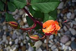 Chris Evert Rose (Rosa 'WEKjuvoo') at Roger's Gardens