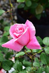 Big Momma Rose (Rosa 'Meitafnah') at Roger's Gardens