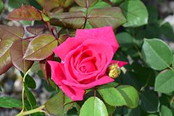 Sweet Spirit Rose (Rosa 'Meithatie') at Roger's Gardens