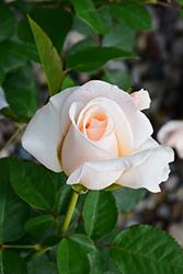 Easy Spirit Rose (Rosa 'WEKmereadoit') at Roger's Gardens