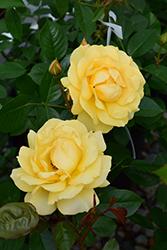 Julia Child Rose (Rosa 'Julia Child') at Roger's Gardens