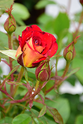Ketchup And Mustard Rose (Rosa 'WEKzazette') at Roger's Gardens