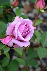 Love Song Rose (Rosa 'WEKstameda') at Roger's Gardens