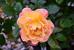 Rosie The Riveter Rose (Rosa 'WEKzazou') at Roger's Gardens