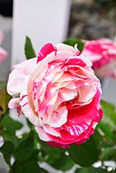 Scentimental Rose (Rosa 'Scentimental') at Roger's Gardens