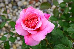 Princess Alexandra Of Kent Rose (Rosa 'Ausmerchant') at Roger's Gardens