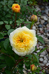 The Poet's Wife Rose (Rosa 'The Poet's Wife') at Roger's Gardens